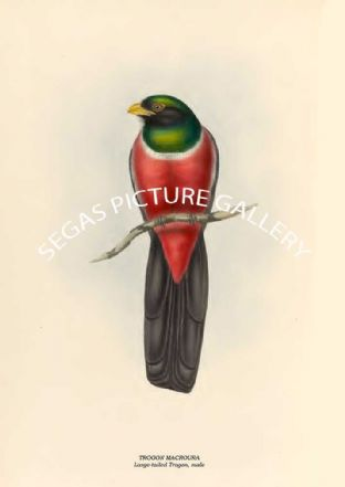TROGON MACROURA - Large-tailed Trogon, male